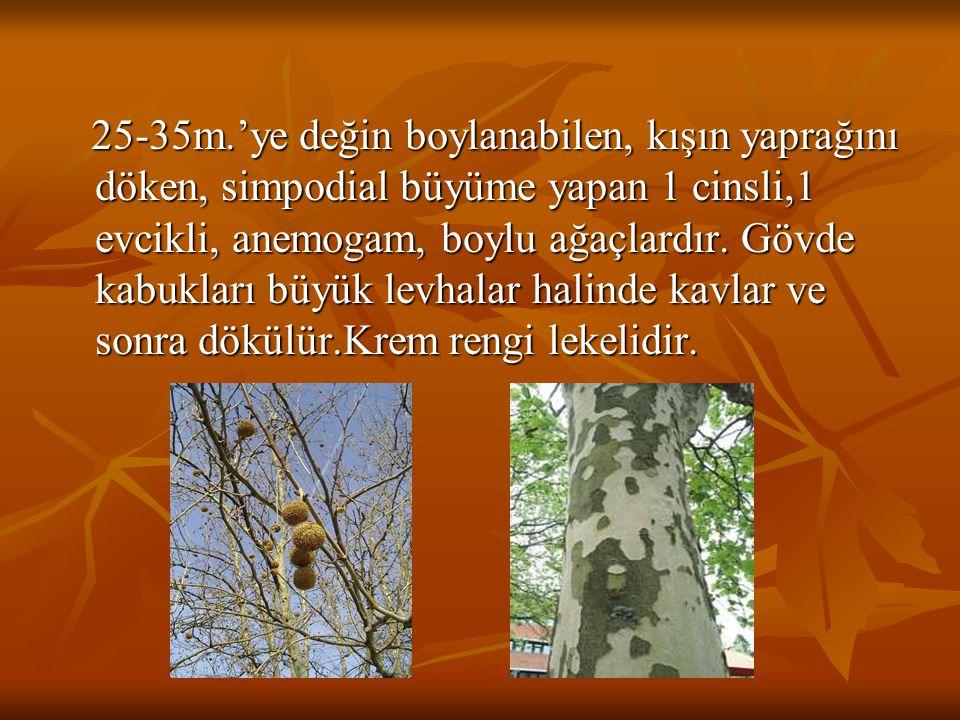 25-35m.'ye değin boylanabilen, kışın yaprağını döken, simpodial büyüme yapan 1 cinsli,1 evcikli, anemogam, boylu ağaçlardır.