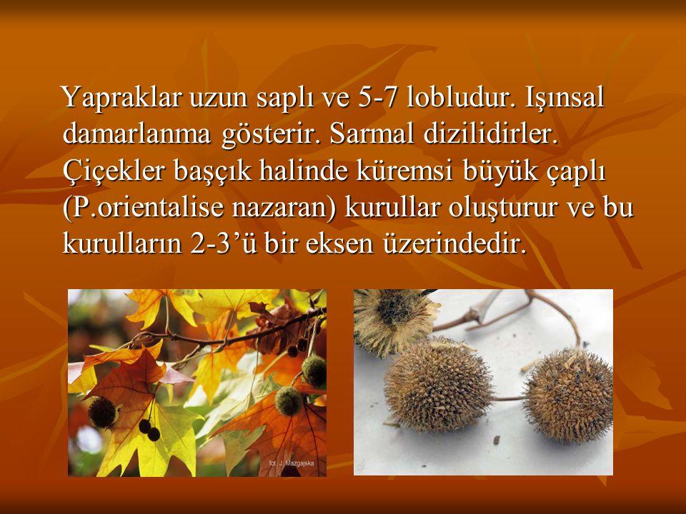 Yapraklar uzun saplı ve 5-7 lobludur. Işınsal damarlanma gösterir