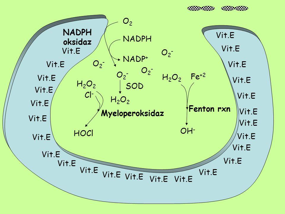 O2 NADPH. oksidaz. Vit.E. NADPH. Vit.E. Vit.E. O2- NADP+ O2- Vit.E. Vit.E. O2- O2- H2O2.
