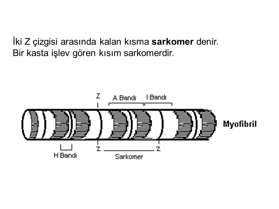 İki Z çizgisi arasında kalan kısma sarkomer denir.