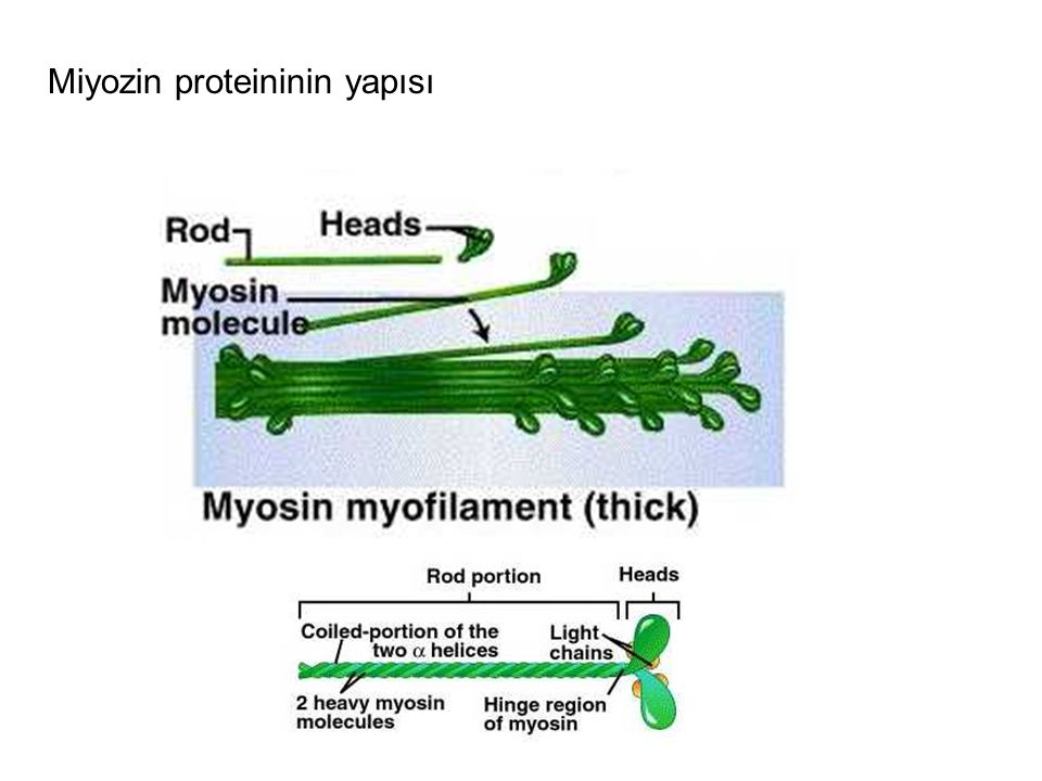 Miyozin proteininin yapısı