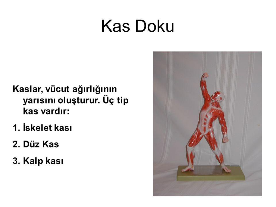 Kas Doku Kaslar, vücut ağırlığının yarısını oluşturur.