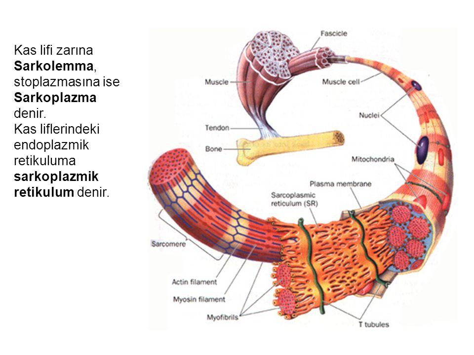Kas lifi zarına Sarkolemma, stoplazmasına ise Sarkoplazma denir.
