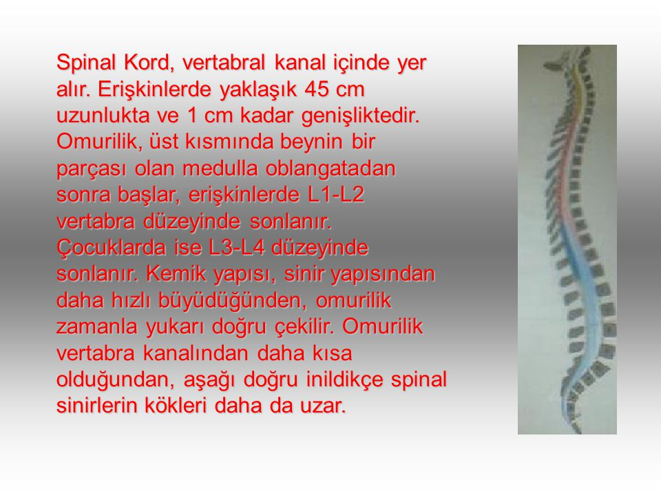 Spinal Kord, vertabral kanal içinde yer alır