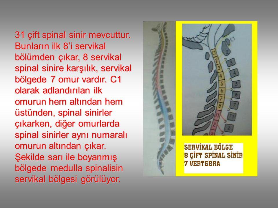 31 çift spinal sinir mevcuttur