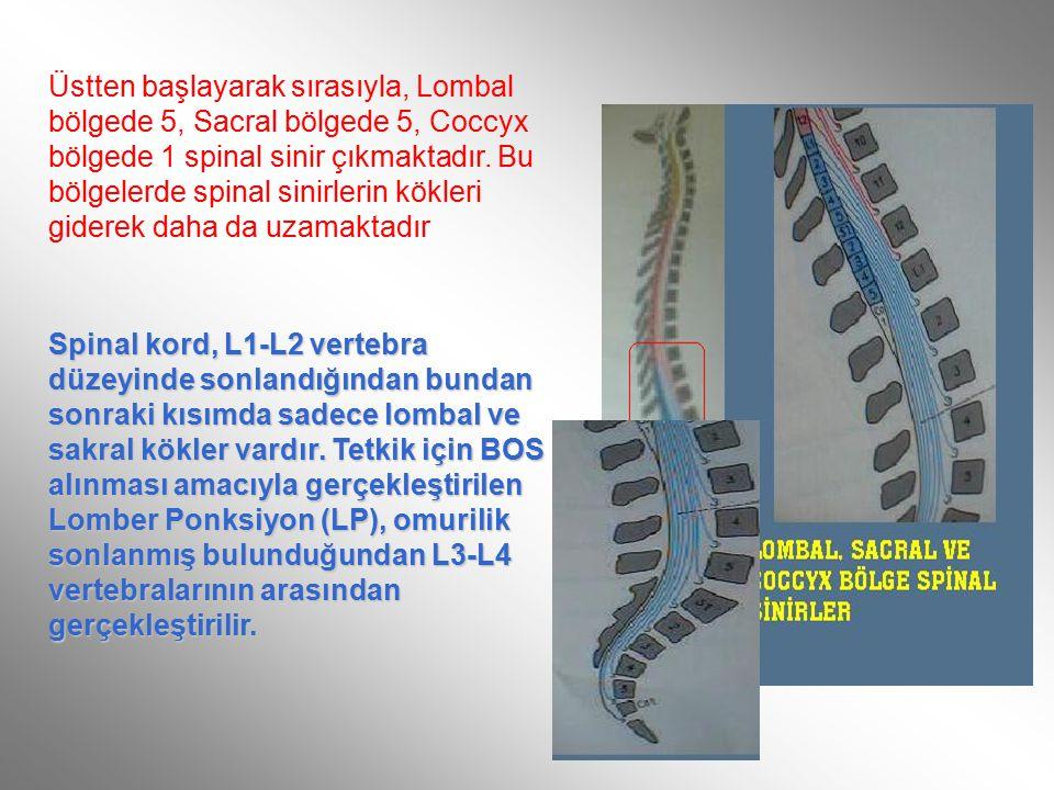 Üstten başlayarak sırasıyla, Lombal bölgede 5, Sacral bölgede 5, Coccyx bölgede 1 spinal sinir çıkmaktadır. Bu bölgelerde spinal sinirlerin kökleri giderek daha da uzamaktadır