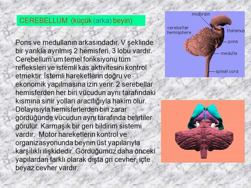 CEREBELLUM (küçük (arka) beyin)