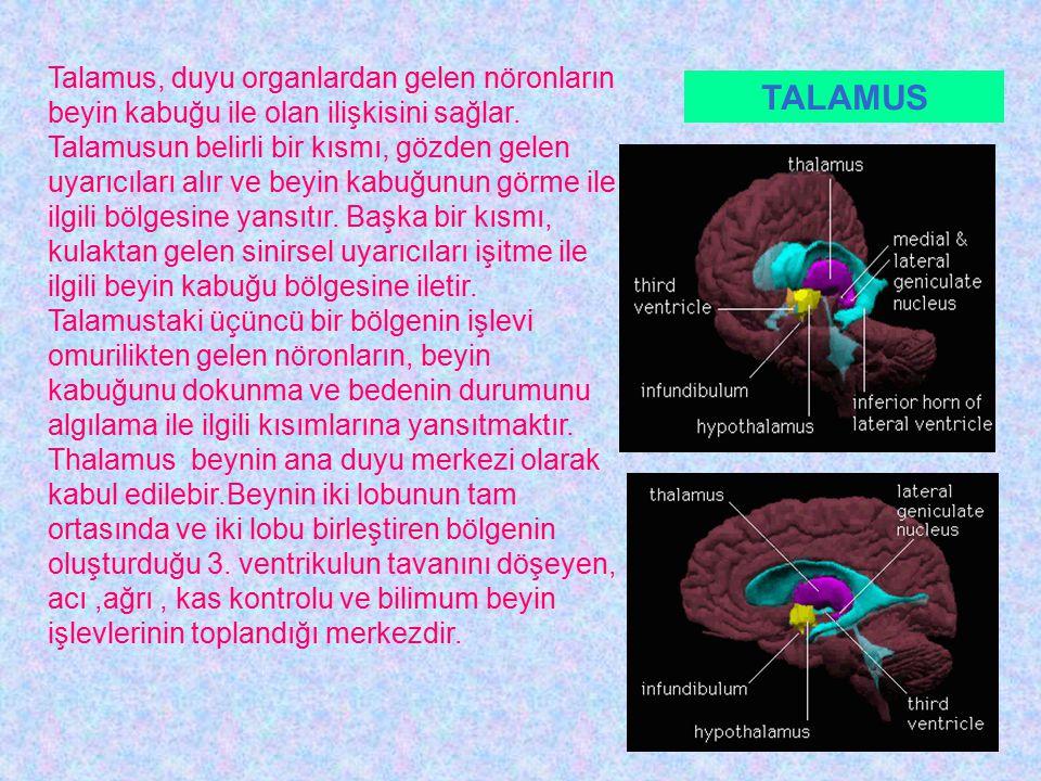 Talamus, duyu organlardan gelen nöronların beyin kabuğu ile olan ilişkisini sağlar. Talamusun belirli bir kısmı, gözden gelen uyarıcıları alır ve beyin kabuğunun görme ile ilgili bölgesine yansıtır. Başka bir kısmı, kulaktan gelen sinirsel uyarıcıları işitme ile ilgili beyin kabuğu bölgesine iletir. Talamustaki üçüncü bir bölgenin işlevi omurilikten gelen nöronların, beyin kabuğunu dokunma ve bedenin durumunu algılama ile ilgili kısımlarına yansıtmaktır. Thalamus beynin ana duyu merkezi olarak kabul edilebir.Beynin iki lobunun tam ortasında ve iki lobu birleştiren bölgenin oluşturduğu 3. ventrikulun tavanını döşeyen, acı ,ağrı , kas kontrolu ve bilimum beyin işlevlerinin toplandığı merkezdir.