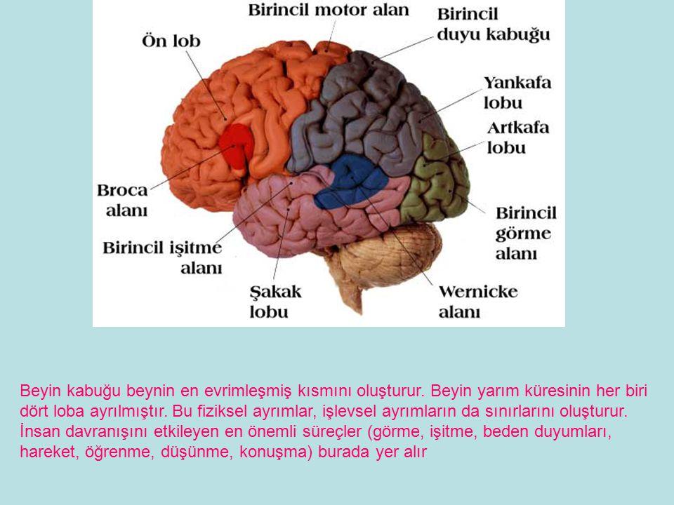 Beyin kabuğu beynin en evrimleşmiş kısmını oluşturur