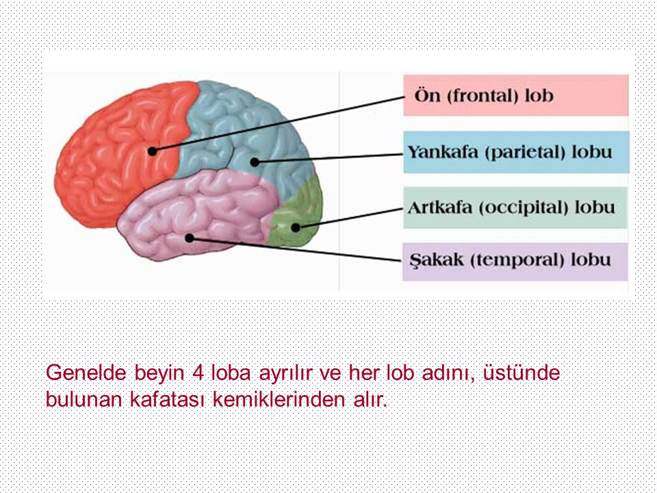 Genelde beyin 4 loba ayrılır ve her lob adını, üstünde bulunan kafatası kemiklerinden alır.