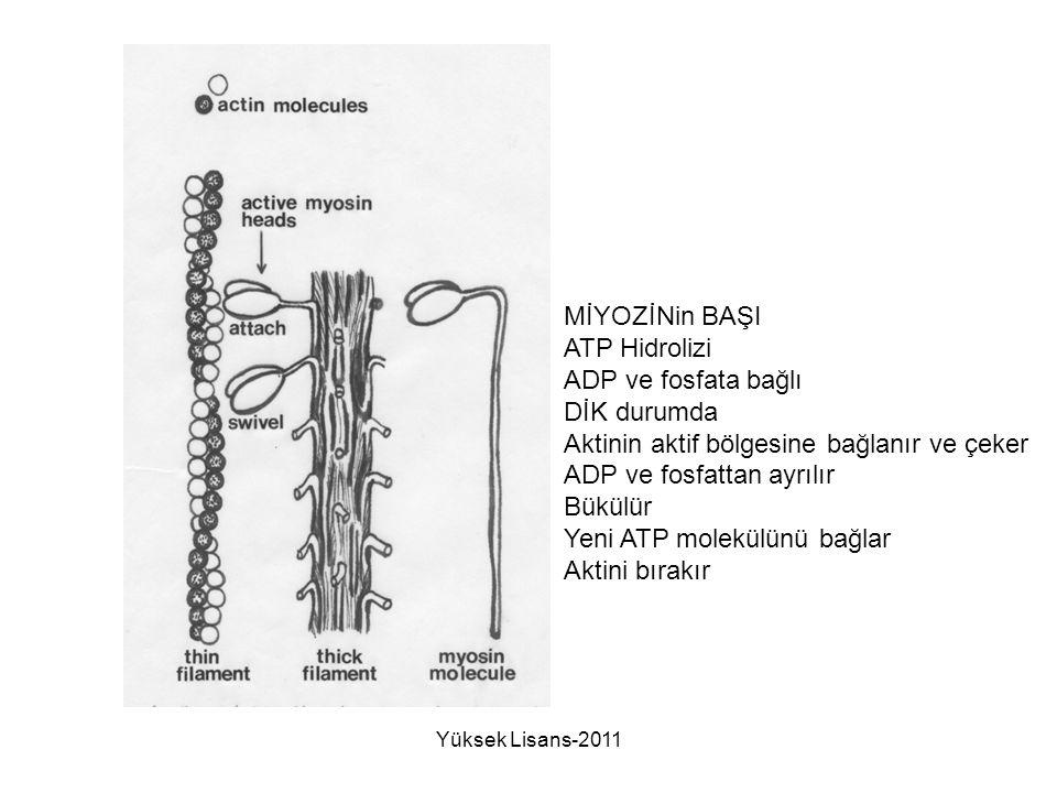 Aktinin aktif bölgesine bağlanır ve çeker ADP ve fosfattan ayrılır