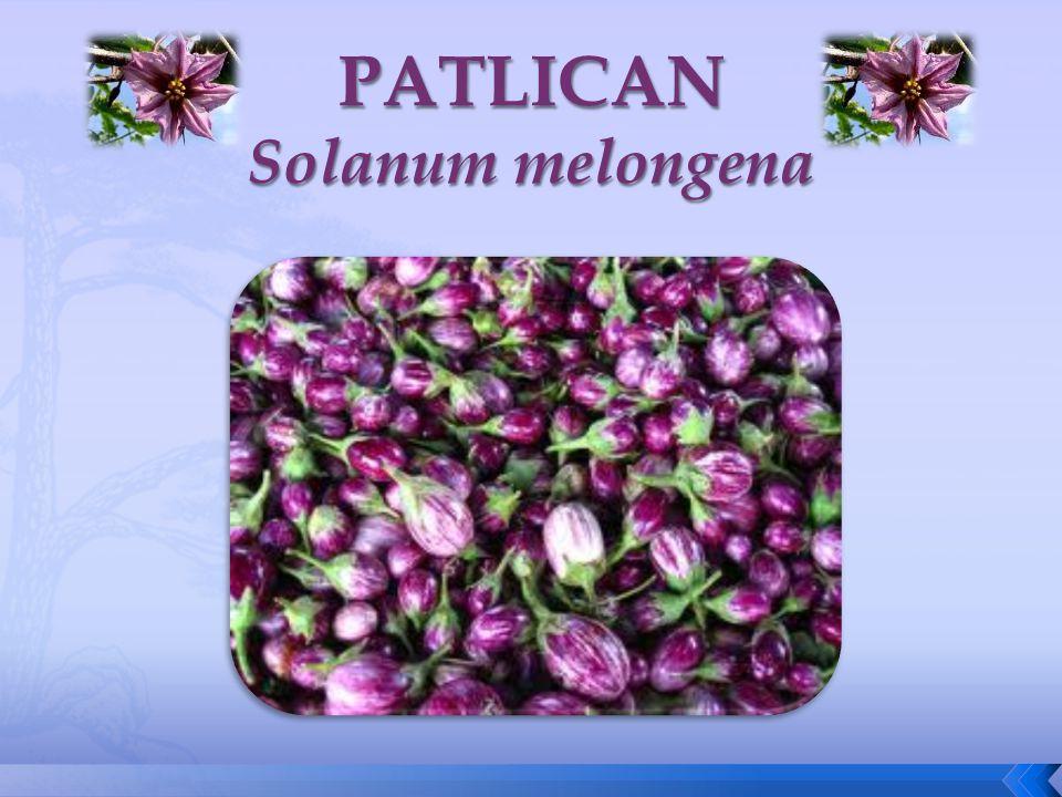 PATLICAN Solanum melongena