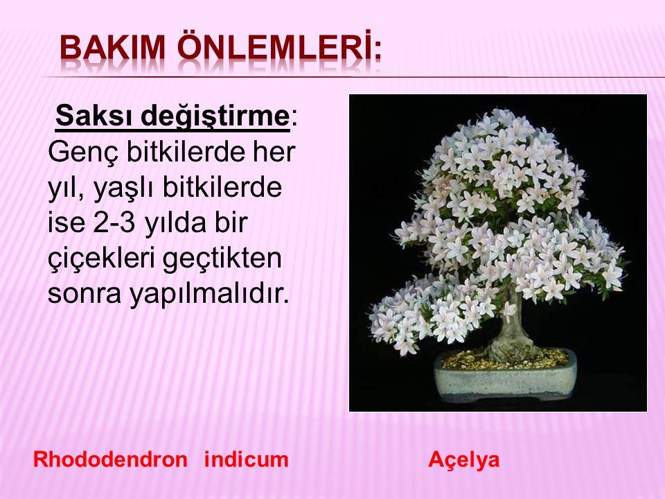 BakIm önlemlerİ: Saksı değiştirme: Genç bitkilerde her yıl, yaşlı bitkilerde ise 2-3 yılda bir çiçekleri geçtikten sonra yapılmalıdır.