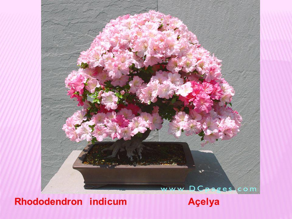 Rhododendron indicum Açelya