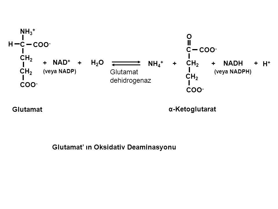 Glutamat' ın Oksidativ Deaminasyonu