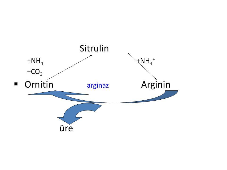 Ornitin arginaz Arginin