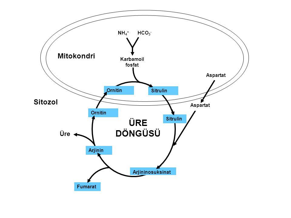 ÜRE DÖNGÜSÜ Mitokondri Sitozol Üre NH4+ HCO3- Karbamoil fosfat