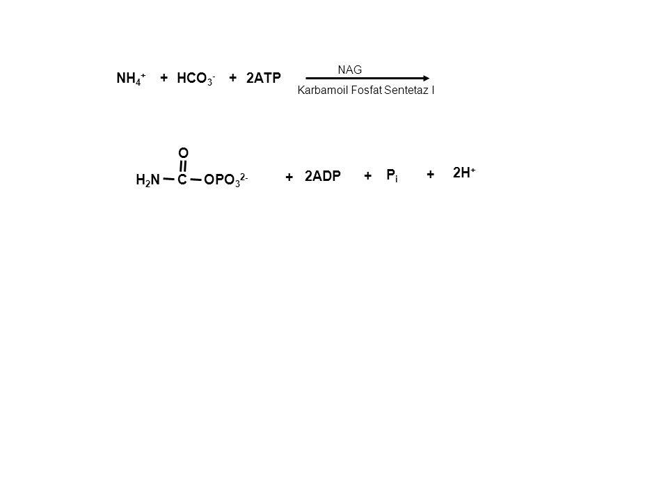 NH4+ + HCO3- + 2ATP O Pi + 2H+ H2N C OPO32- + 2ADP + NAG