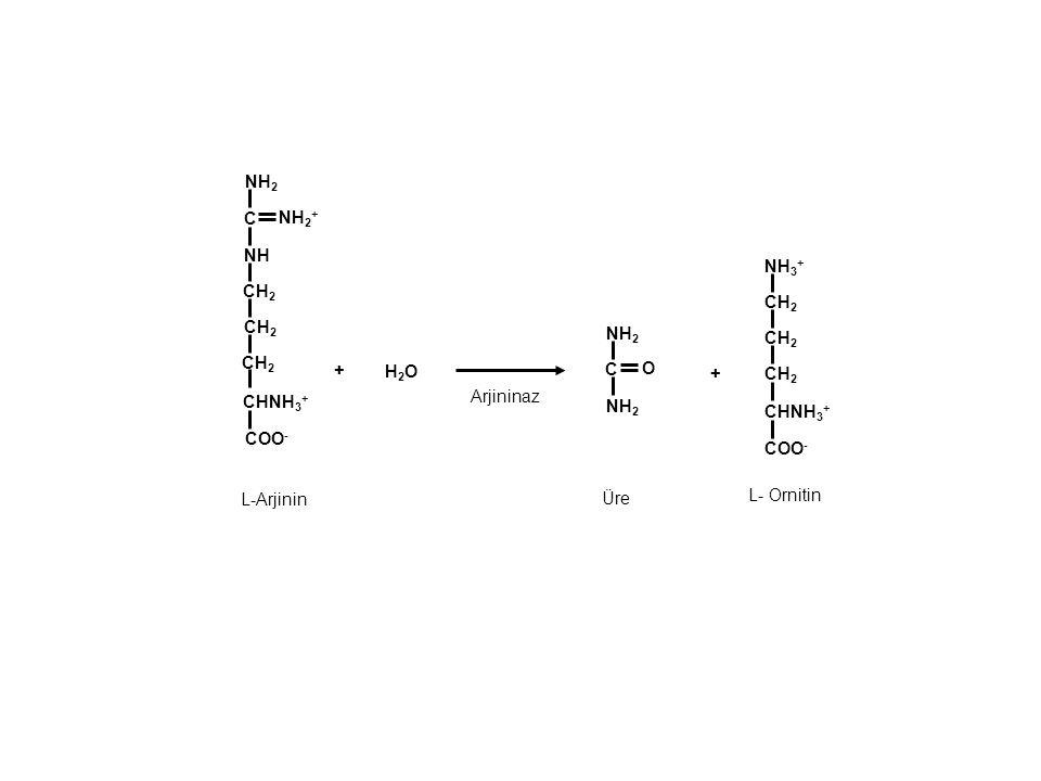 NH2 C. NH2+ NH. NH3+ CH2. CH2. CH2. NH2. CH2. CH2. + H2O. C. O. + CH2. CHNH3+ Arjininaz.