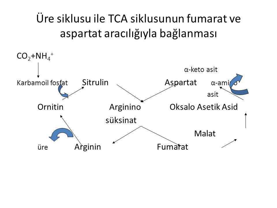 Üre siklusu ile TCA siklusunun fumarat ve aspartat aracılığıyla bağlanması