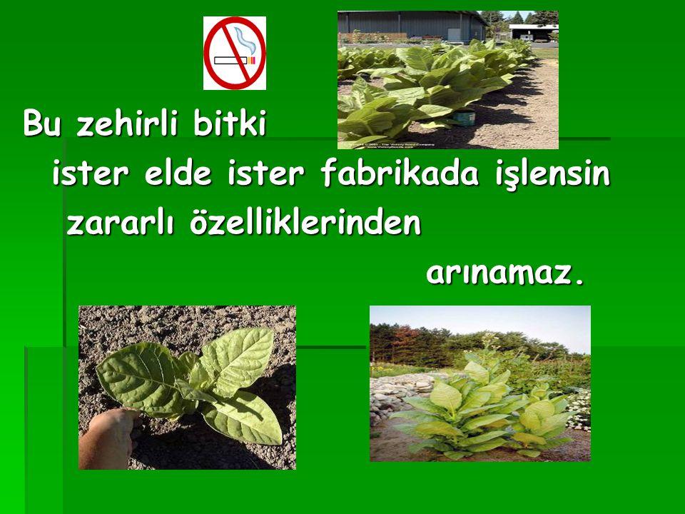 Bu zehirli bitki ister elde ister fabrikada işlensin zararlı özelliklerinden arınamaz.