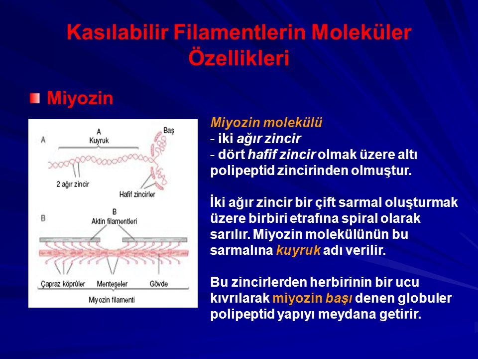 Kasılabilir Filamentlerin Moleküler Özellikleri