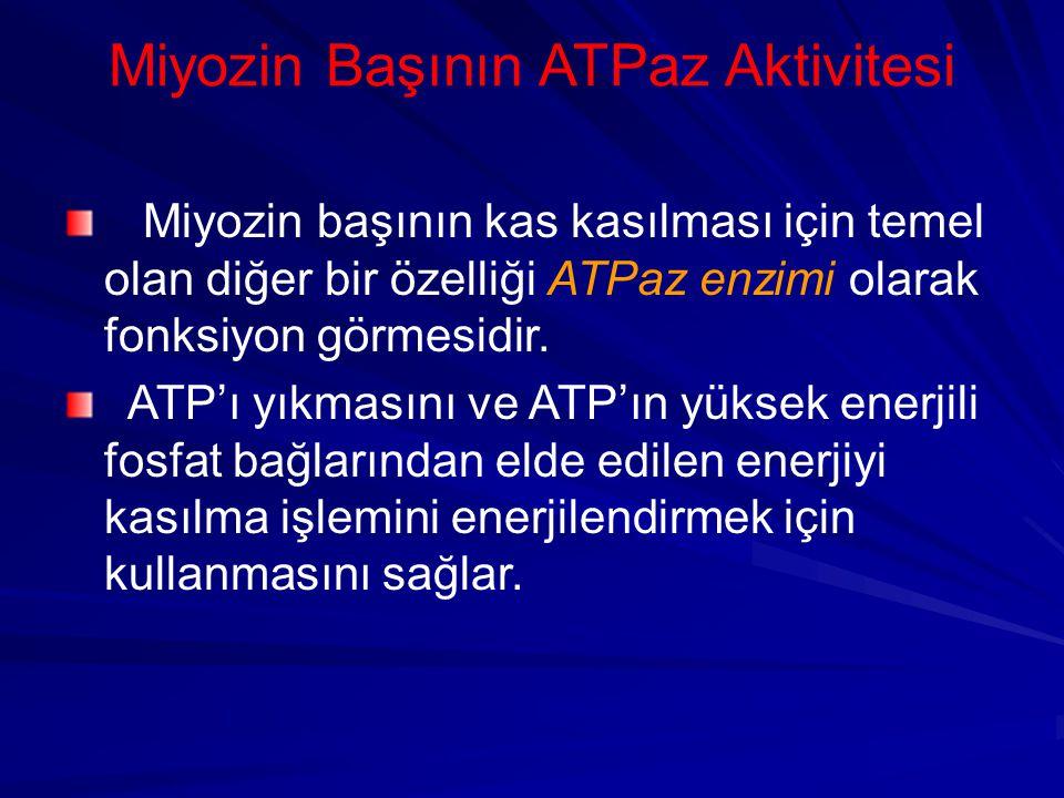 Miyozin Başının ATPaz Aktivitesi