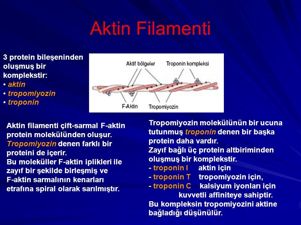 Aktin Filamenti 3 protein bileşeninden oluşmuş bir komplekstir: aktin