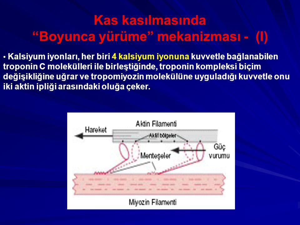 Kas kasılmasında Boyunca yürüme mekanizması - (I)