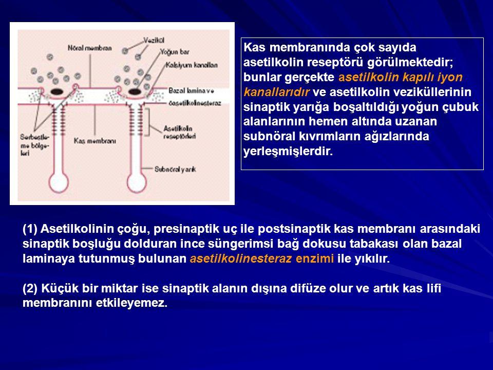 Kas membranında çok sayıda asetilkolin reseptörü görülmektedir;