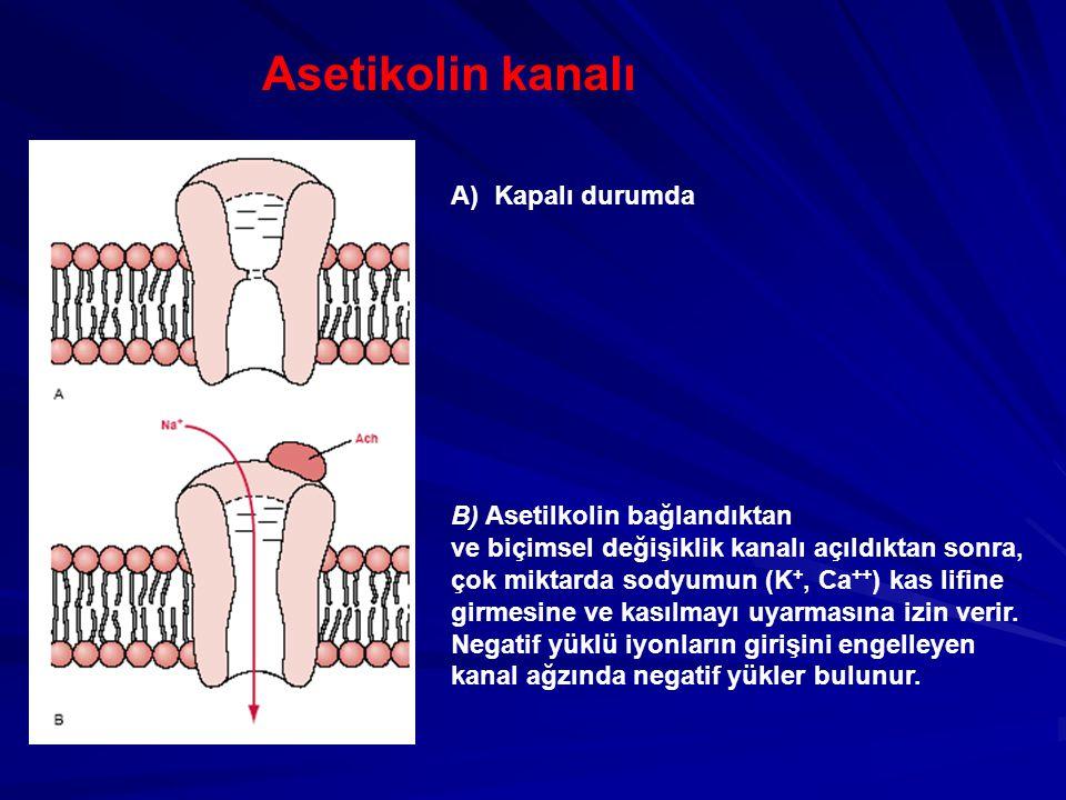 Asetikolin kanalı A) Kapalı durumda B) Asetilkolin bağlandıktan