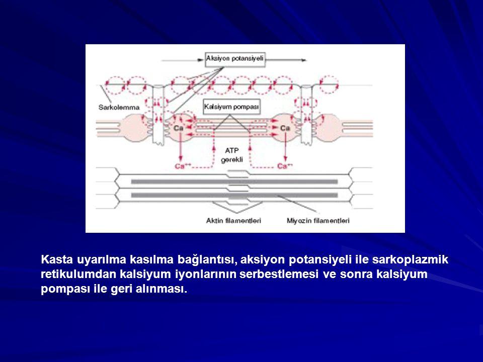 Kasta uyarılma kasılma bağlantısı, aksiyon potansiyeli ile sarkoplazmik retikulumdan kalsiyum iyonlarının serbestlemesi ve sonra kalsiyum