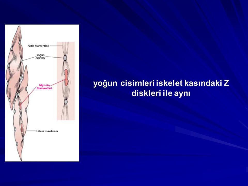 yoğun cisimleri iskelet kasındaki Z diskleri ile aynı