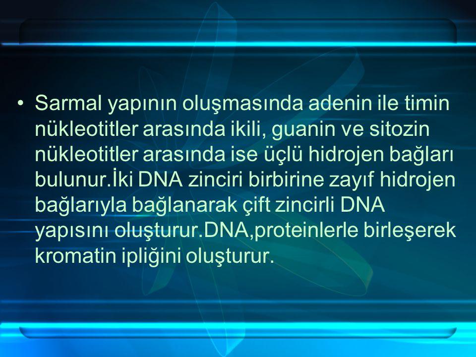 Sarmal yapının oluşmasında adenin ile timin nükleotitler arasında ikili, guanin ve sitozin nükleotitler arasında ise üçlü hidrojen bağları bulunur.İki DNA zinciri birbirine zayıf hidrojen bağlarıyla bağlanarak çift zincirli DNA yapısını oluşturur.DNA,proteinlerle birleşerek kromatin ipliğini oluşturur.