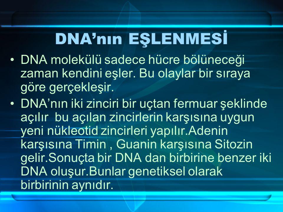 DNA'nın EŞLENMESİ DNA molekülü sadece hücre bölüneceği zaman kendini eşler. Bu olaylar bir sıraya göre gerçekleşir.