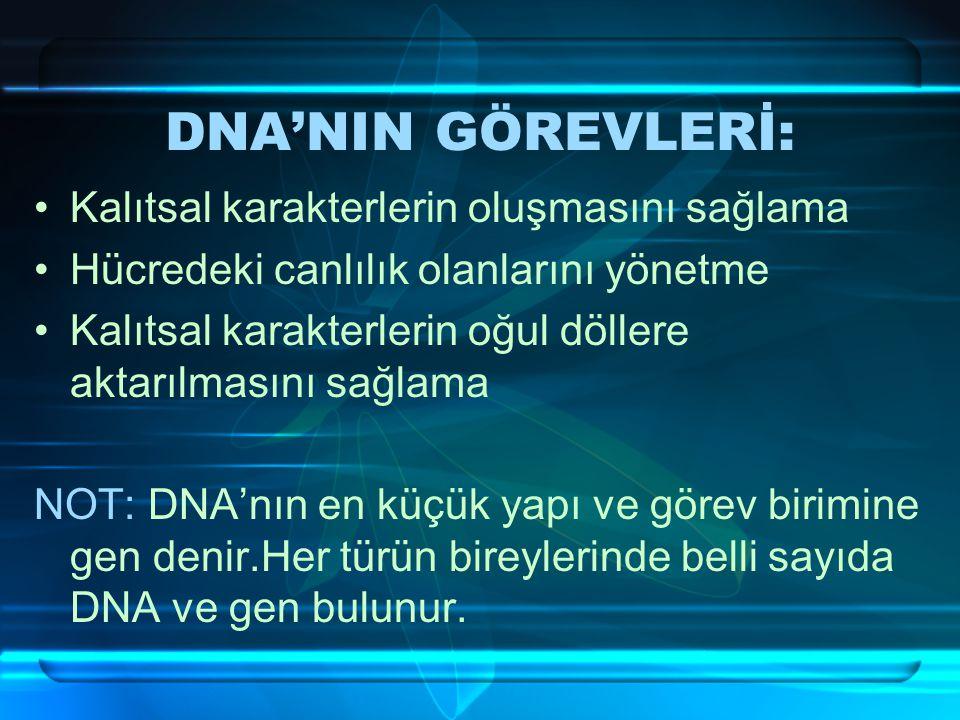 DNA'NIN GÖREVLERİ: Kalıtsal karakterlerin oluşmasını sağlama