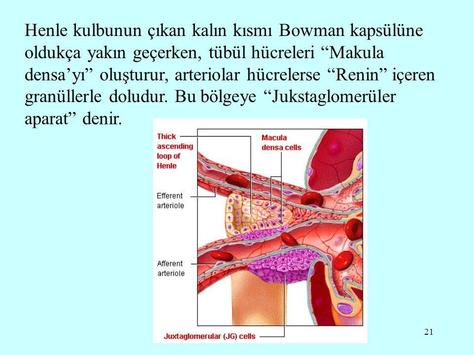 Henle kulbunun çıkan kalın kısmı Bowman kapsülüne oldukça yakın geçerken, tübül hücreleri Makula densa'yı oluşturur, arteriolar hücrelerse Renin içeren granüllerle doludur.