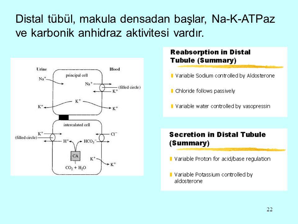 Distal tübül, makula densadan başlar, Na-K-ATPaz ve karbonik anhidraz aktivitesi vardır.