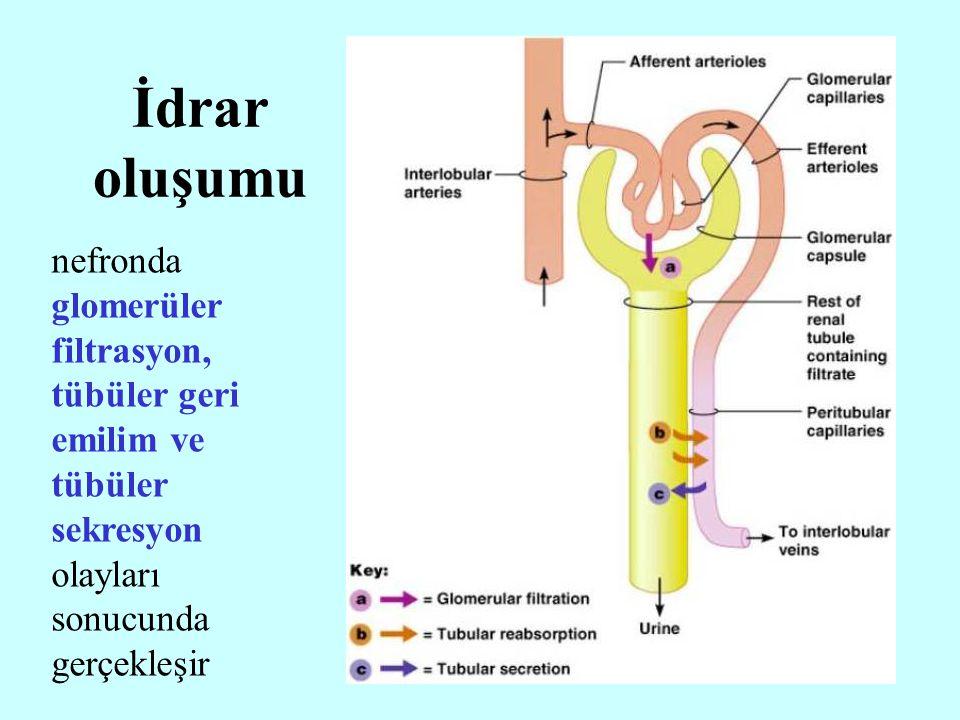 İdrar oluşumu nefronda glomerüler filtrasyon, tübüler geri emilim ve tübüler sekresyon olayları sonucunda gerçekleşir.