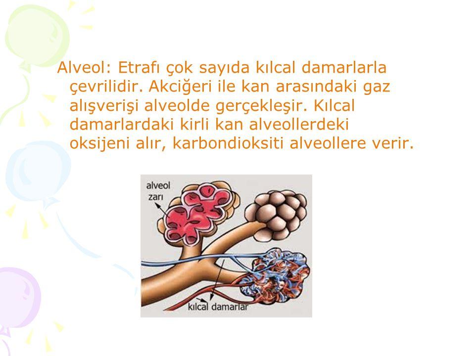 Alveol: Etrafı çok sayıda kılcal damarlarla çevrilidir