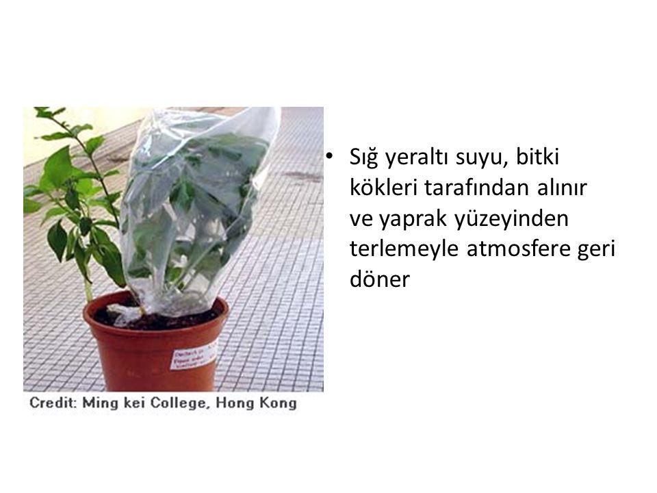 Sığ yeraltı suyu, bitki kökleri tarafından alınır ve yaprak yüzeyinden terlemeyle atmosfere geri döner