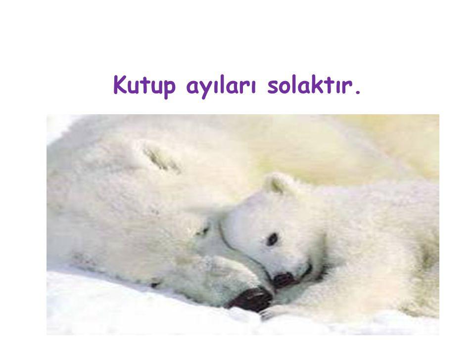 Kutup ayıları solaktır.