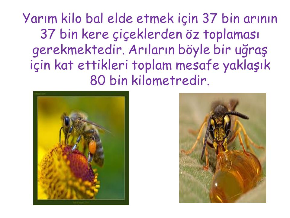 Yarım kilo bal elde etmek için 37 bin arının 37 bin kere çiçeklerden öz toplaması gerekmektedir.