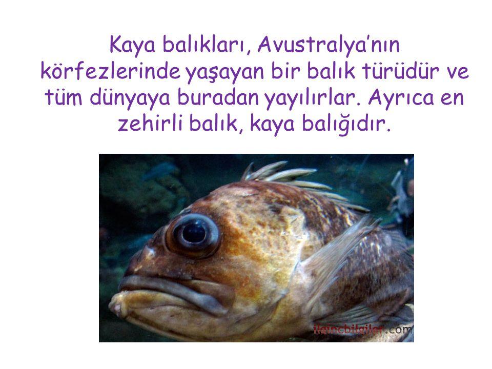 Kaya balıkları, Avustralya'nın körfezlerinde yaşayan bir balık türüdür ve tüm dünyaya buradan yayılırlar.