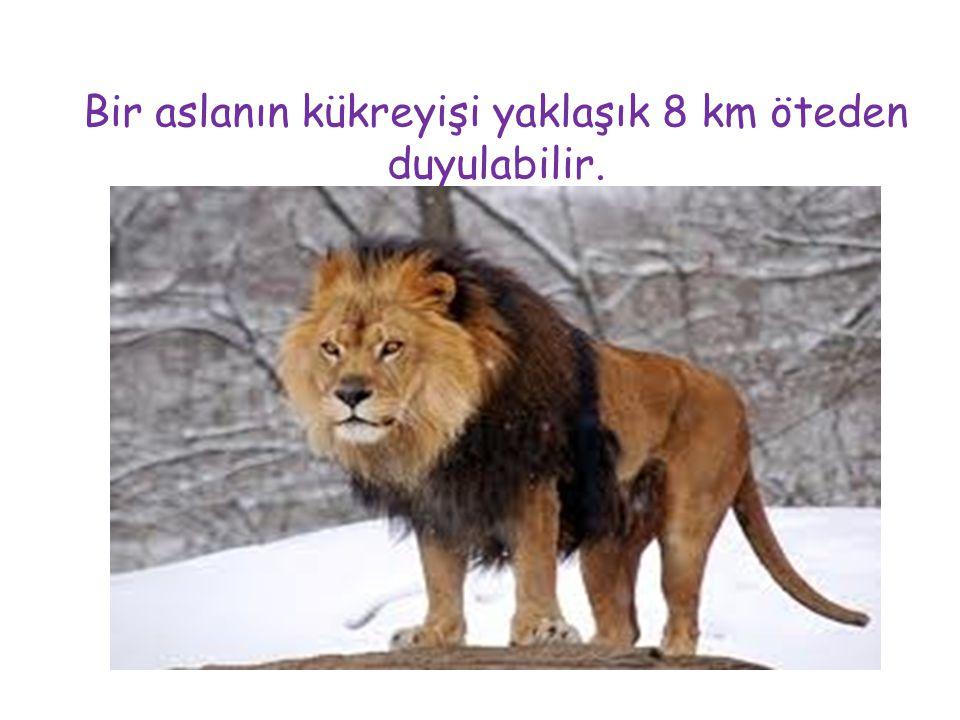 Bir aslanın kükreyişi yaklaşık 8 km öteden duyulabilir.