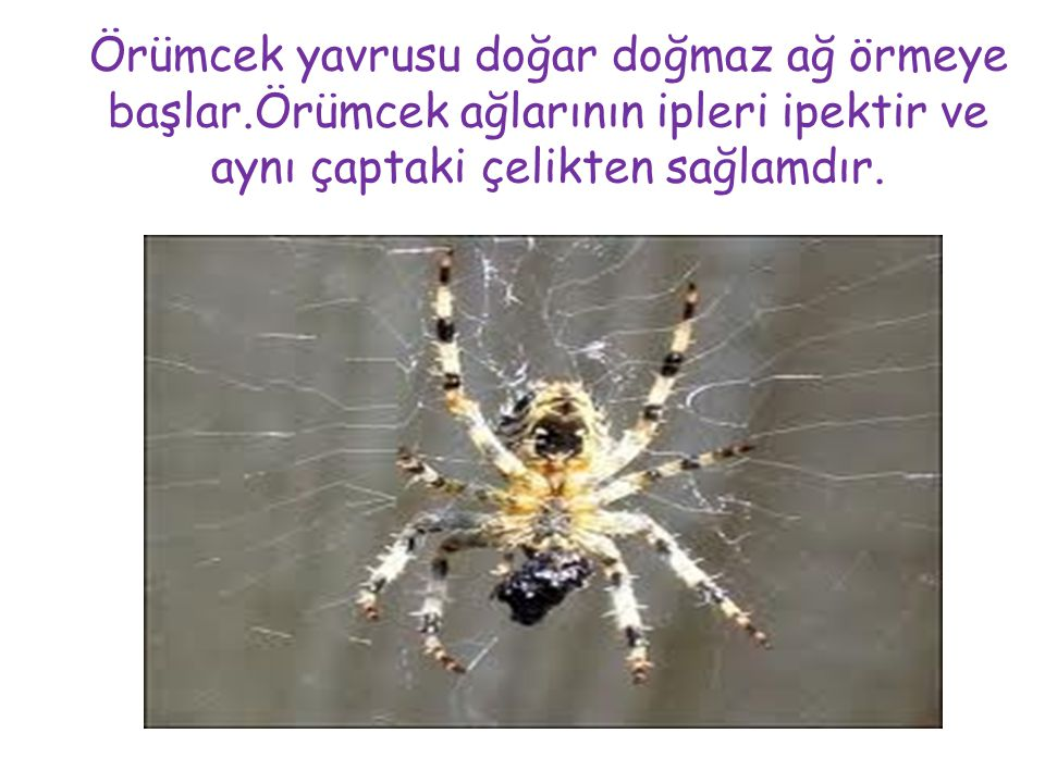 Örümcek yavrusu doğar doğmaz ağ örmeye başlar