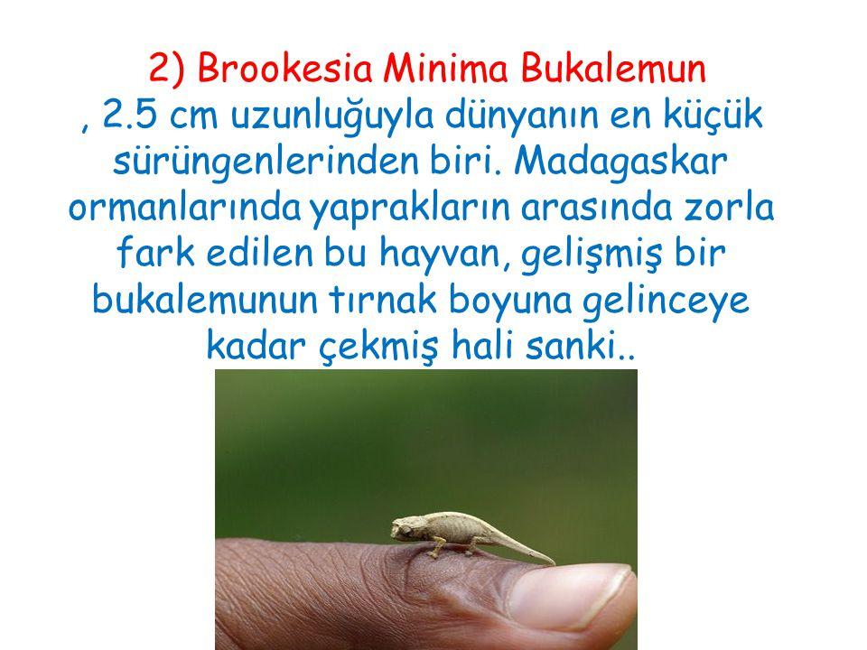 2) Brookesia Minima Bukalemun , 2