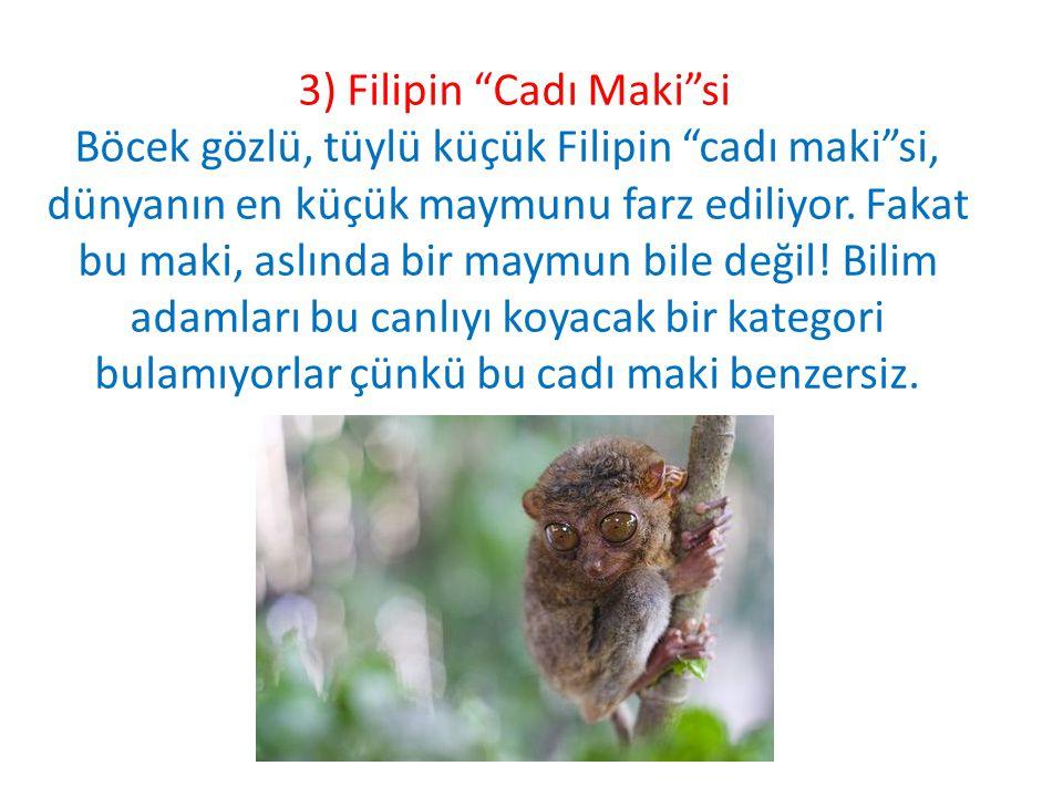 3) Filipin Cadı Maki si Böcek gözlü, tüylü küçük Filipin cadı maki si, dünyanın en küçük maymunu farz ediliyor.