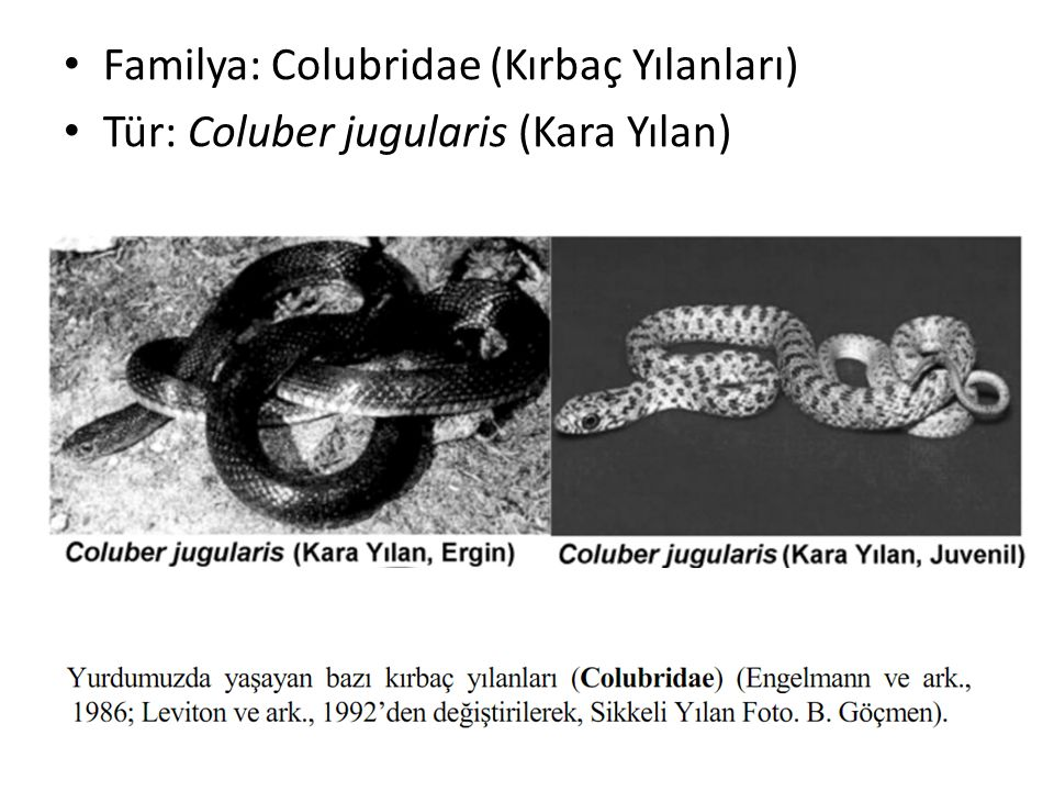 Familya: Colubridae (Kırbaç Yılanları)