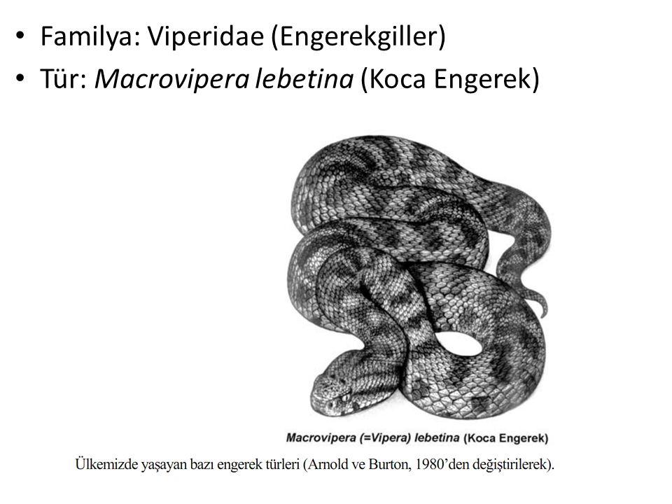 Familya: Viperidae (Engerekgiller)